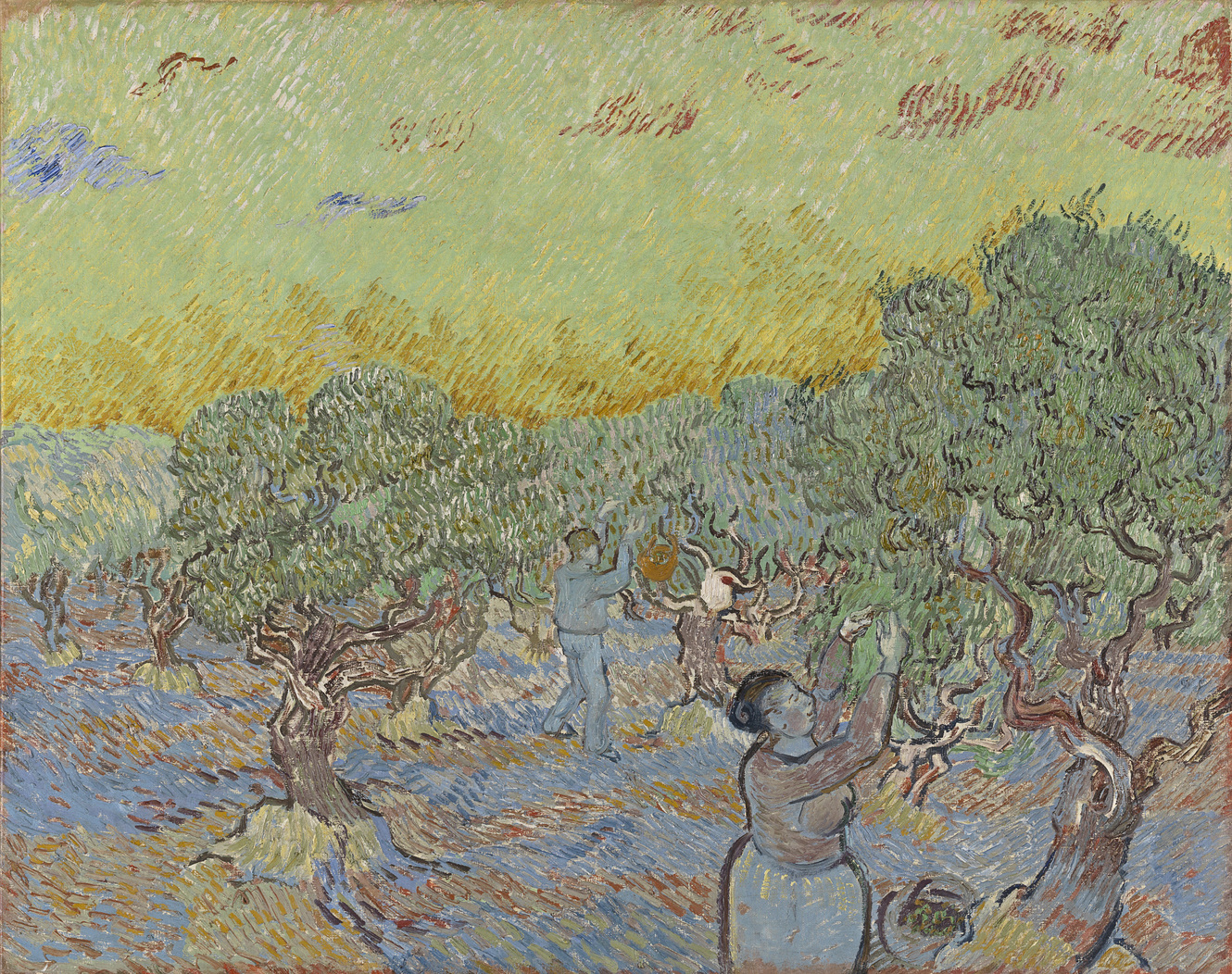 olive grove with 2 olive pickers